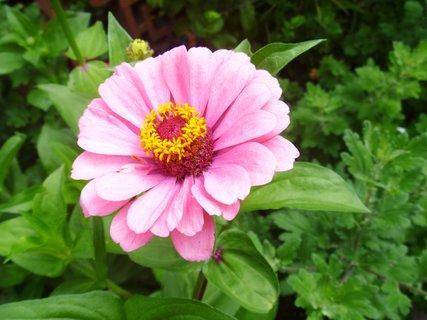 FOTKA - zahrada..cinie růžová