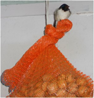 FOTKA - Vlaštovka často nocuje na pytlu s ořechy