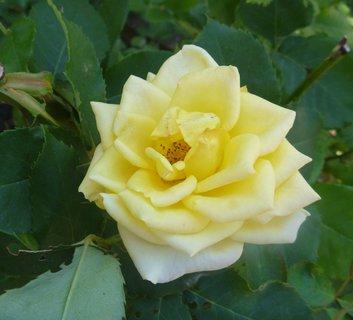 FOTKA - žluté růže-fotka z procházky,