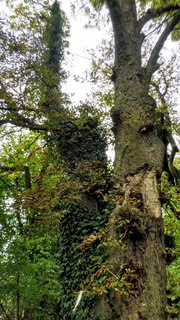 FOTKA - porostlé stromy břečťanem
