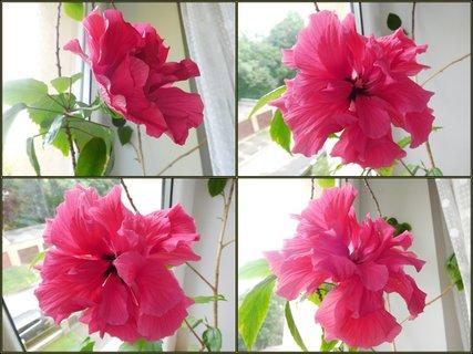 FOTKA - Veliký plný květ (5.6.)