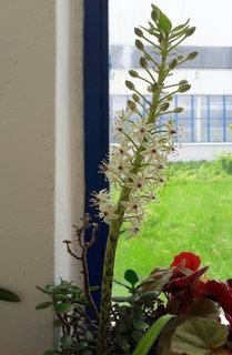 FOTKA - Ananasová lilie rozkvétá (7.6.)