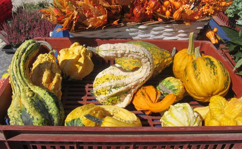 FOTKA - Barvy na trhu: zelenožluté tykve na okrasu