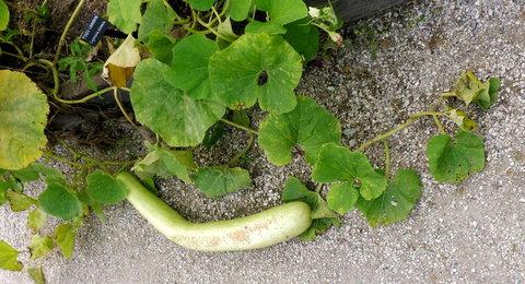 FOTKA - plody z bylinkové zahrady na Kuksu - tykev lahvovitá ležící