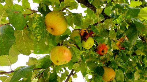 FOTKA - plody z bylinkové zahrady na Kuksu - jablíčka