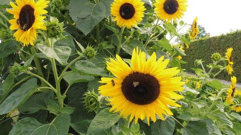 FOTKA - slunečnice z Kuksu