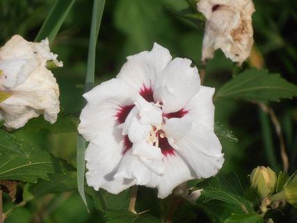 FOTKA - Ibišek stále ještě kvete