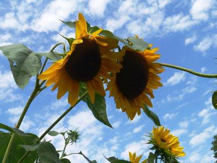 FOTKA - letní foto..vysoké slunečnice