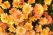 květináč-chryzantémka