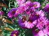 Motýl si užívá zářijového mlsání