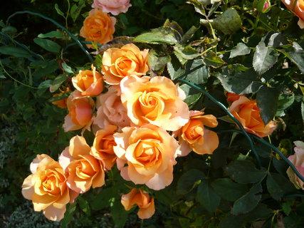 FOTKA - Růže na zahrádce