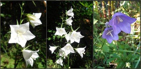 FOTKA - Bílé a fialové zvonky (20.6.)