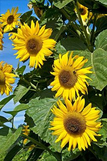 FOTKA - letní slunečnice,