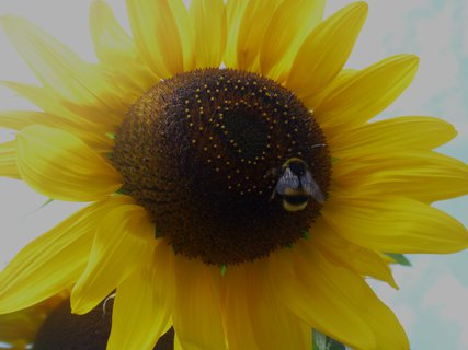 FOTKA - slunečnice a brumlík