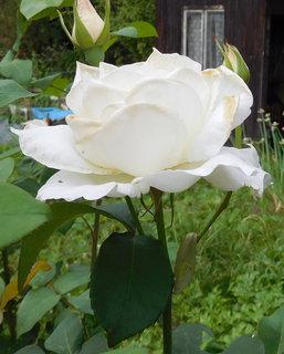 FOTKA - Tahle bílá kráska už skoro odkvétá (23.6.)