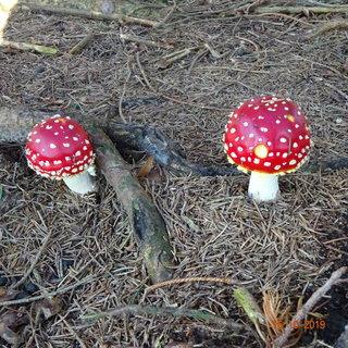 FOTKA - Muchomůrky v lese