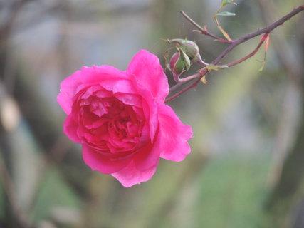 FOTKA - Pnoucí růže stále kvete (17.10.)