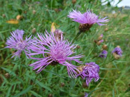 FOTKA - Střapaté květy lučních chrp (30.7.)
