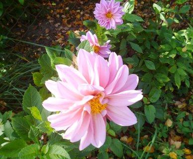 FOTKA - jiřiny 30.10. na zahradě