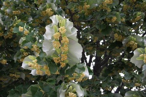 FOTKA - Kvet lipy