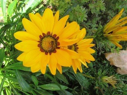 FOTKA - gazánie + včelka -září