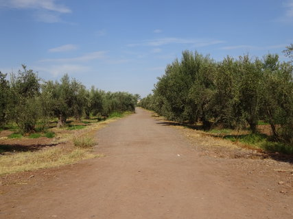 FOTKA - Olivový háj
