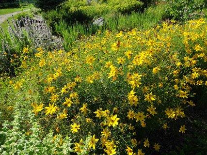 FOTKA - žluté květiny na ranči