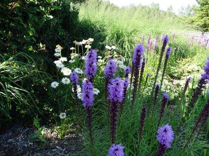 FOTKA - ranč - fialové krásky