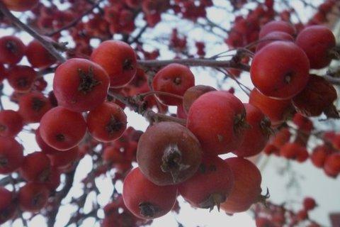 FOTKA - malinká jabl.