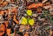 Tři žluté květy