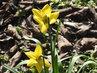 První květy narcisek (8.3.)