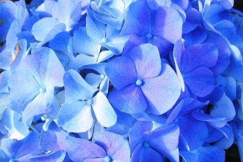 FOTKA - modroučká hort.
