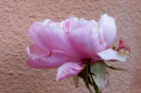 FOTKA - růžička..podzim