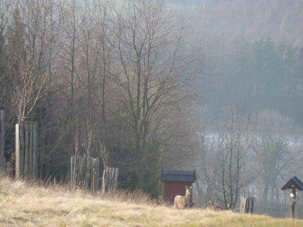FOTKA - V oboře je v současné době 130 kusů dospělé zvěře jelence a každoroční přírustky jsou sečteny v zimních měsících