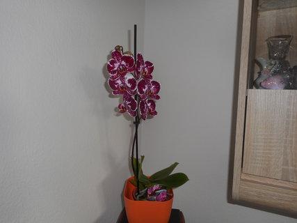 FOTKA - Orchidej k MDŽ