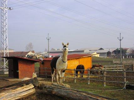 FOTKA - lama a v pozadí koníci