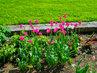 Krásná barva tulipánů