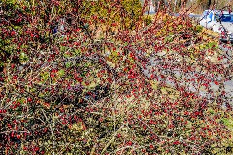 FOTKA - Červeno na keři