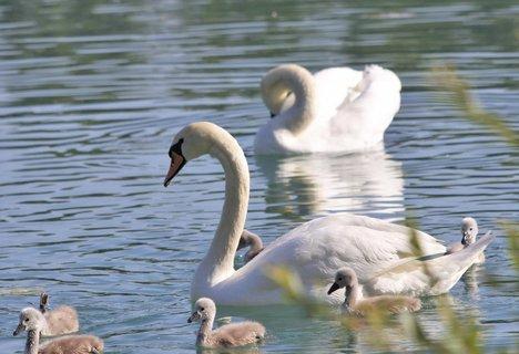 FOTKA - labutí rodina