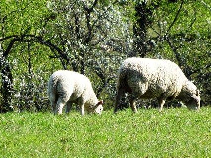 FOTKA - dvě ovce na pastvě