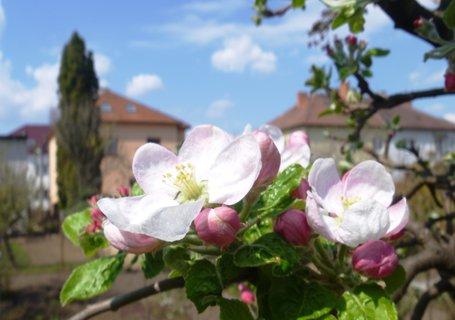 FOTKA - kvítky naší jabloňky