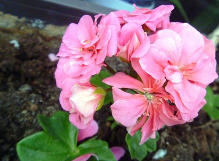 FOTKA - první letošní květ na okně