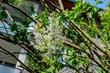 Květ bílého šeříku