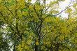 Žlutý strom ...