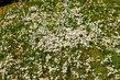 Bílý květinový koberec