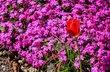 Červený tulipánek