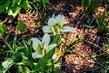 Dva bílé květy