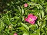 První květ dřevité pivoňky (27.5.)