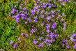 Kvetoucí do fialova