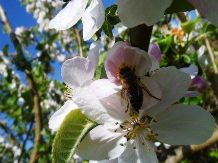 FOTKA - včela dělnice